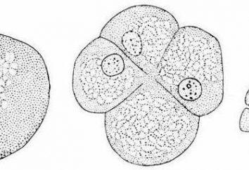 Ektodermy – ta zewnętrzna warstwa początkowa