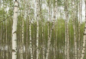 Sadzenie drzew brzozy wiosny. Wskazówki dotyczące dbania o brzozy