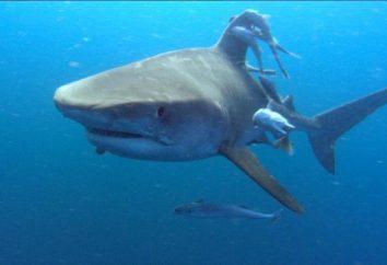 Los ataques de tiburones en las personas: mitos y realidad