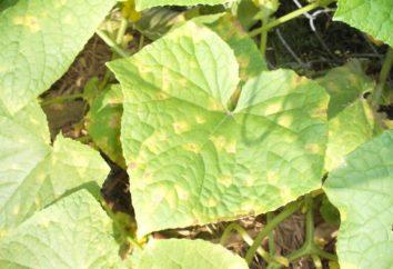 Feuilles jaunes de concombre: causes et méthodes de contrôle