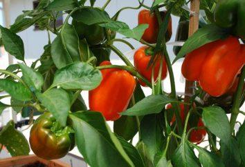 Comment préparer les graines de poivre pour semer? Tremper les graines de poivre avant la plantation
