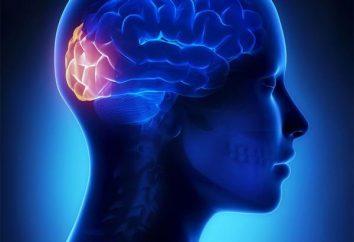 Der Temporallappen des Gehirns: Struktur und Funktion