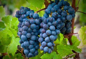 Odmiany winogron Cabernet Sauvignon: opis, opieka, uprawa i recenzje