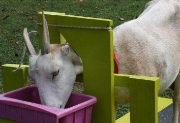Comment faire une machine pour les chèvres laitières: taille photo