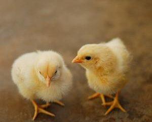 Poulet Poulets: comment nourrir? Que faire si les poulets de chair sifflante ou assis sur vos pieds?