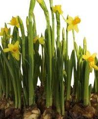 fleur de printemps favori. Narcisse: la culture et les soins