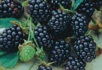 Blackberry Triple Crown: la description de la classe, les photos, les caractéristiques de la culture