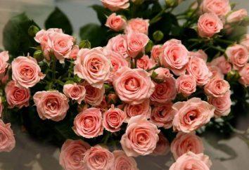 datos interesantes sobre la rosa, después de lo cual le encantará esta flor