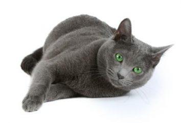 Bezpretensjonalny kotów Rasa: Rosyjski niebieski