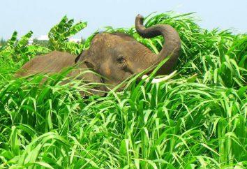 Co zjeść słonia? Słonie jeść? Ile słoń zjada w ciągu dnia?