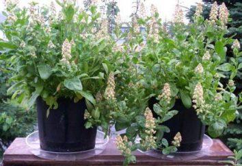 Skromne magiczne kwiaty: reseda