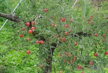 Lavorare in giardino come piantare un albero di mele in primavera