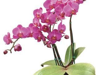 Considerate le orchidee come propagate a casa