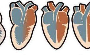 Cuatro cámaras del corazón son anfibios y reptiles: ejemplos