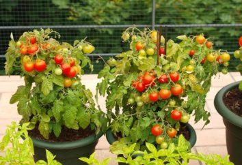 Ampel tomates – décoration du balcon