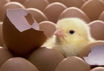 Was das Huhn in den frühen Tagen seines Lebens zu füttern