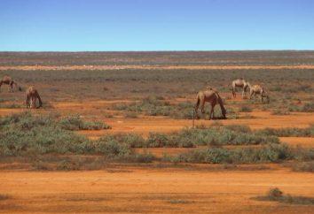 Camel Thorn – pokarm dla wielbłąda, na pszczoły miodne i lekarstwem dla człowieka