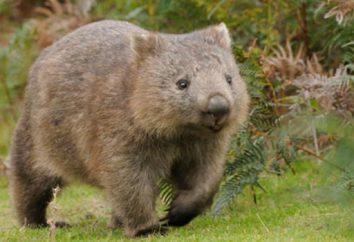 """Wombat: Australii zwierzę. """"Miś"""" zielony kontynent"""