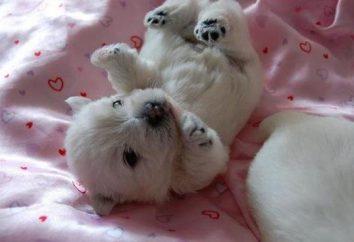 Pies rasy terier Zachodni Biała: zdjęcia i opinie