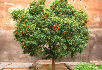 Orange Tree – quel est-il? photo