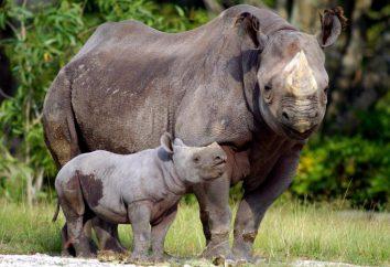 Czarny nosorożec oświadczył wymarły? Black Rhino: zdjęcia, opis