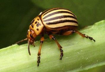 ¿Qué es mejor – un científico o popular? Los fondos del escarabajo de la patata