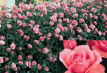 Rose Kuin Elizabet: Garden Queen