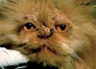 Grzybicy. Co to jest grzybica u kotów?