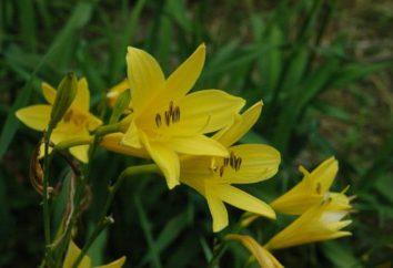 Gatunki i odmiany daylilies: Opis, szczególną starannością i uprawy