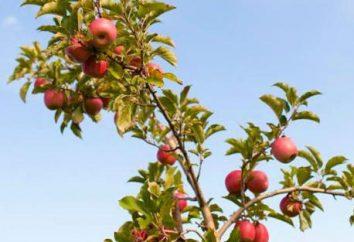 Jabłoń Weteran: opis odmiany