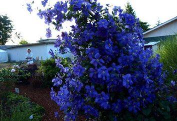 Quando piantare clematis? Piantare in autunno e primavera è preferibile