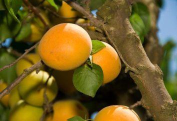 Aprikosen in Sibirien: der Anbau und die Pflege. Sorten von Aprikosen in Sibirien