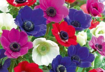 Anemone kwiat – sadzenie i pielęgnacja. Kwiaty Anemone – zdjęcia