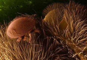 abeilles Varroa: la prévention, les méthodes de traitement. Apiculture pour les débutants