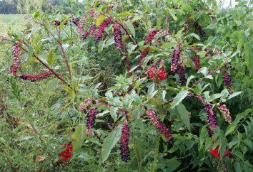 plante pokeweed: plantation et l'entretien. Les propriétés médicinales et application de pokeweed