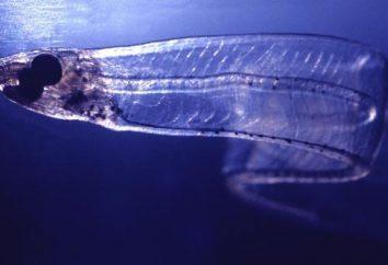 poisson transparent: photo et description. Salpa Maggiore – poisson transparent