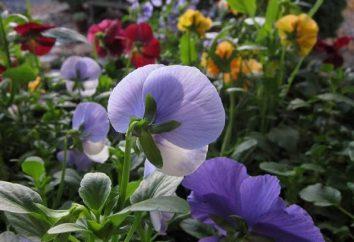 Viola kwiaty w swoim ogrodzie