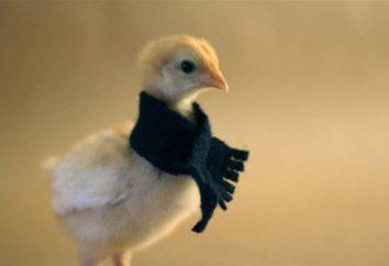 I polli sono dispnea e starnuti: cosa fare?