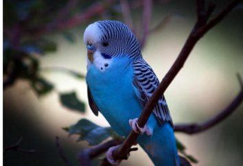Jak nauczyć papugę mówić falisty i ile mają czasu