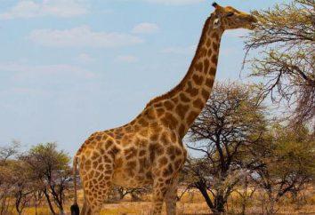 girafa considerável: neste animal pressão arterial muito alta