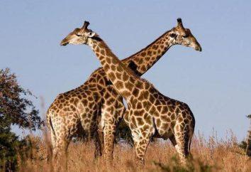 Riddle o żyrafa dla dzieci jako magazyn faktów