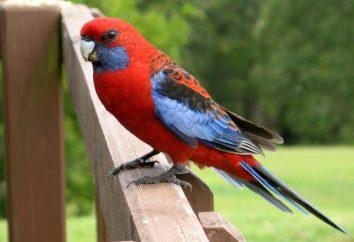 Rosella Parrot – increíblemente hermoso pájaro