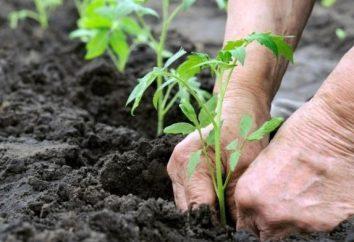 sos pomidorowy w otwartym terenie na lepszy rozwój siewek