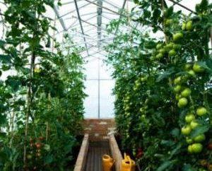 Hai bisogno di sapere come legare i pomodori in serra