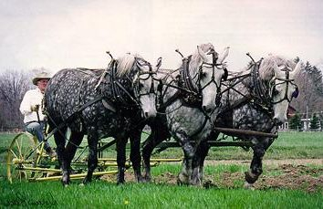 Persheronskaya race de chevaux. race lourde Cheval persheronskoy (photo)