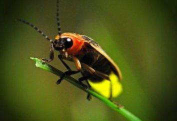 Firefly – noite inseto decoração