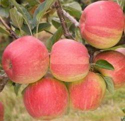 Variété de pommes « Shtrifel » Jardin