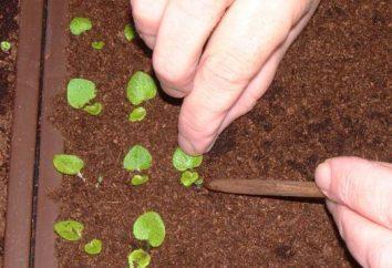 Come seminare, come immergersi petunie e come raggiungere una lunga e sostenuta fioritura