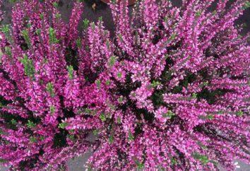 Flor de brezo en el hogar: el cultivo, cuidado, cría y propiedades medicinales
