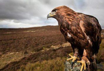 Aquila reale – la più grande aquila nel mondo